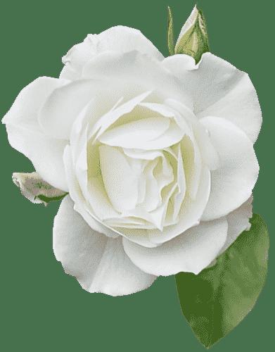 101-rosa