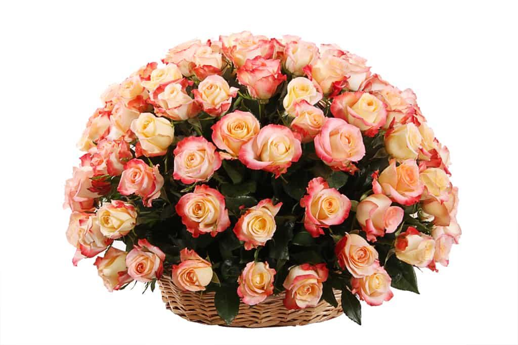 101-persikovaya-roza-Kabare