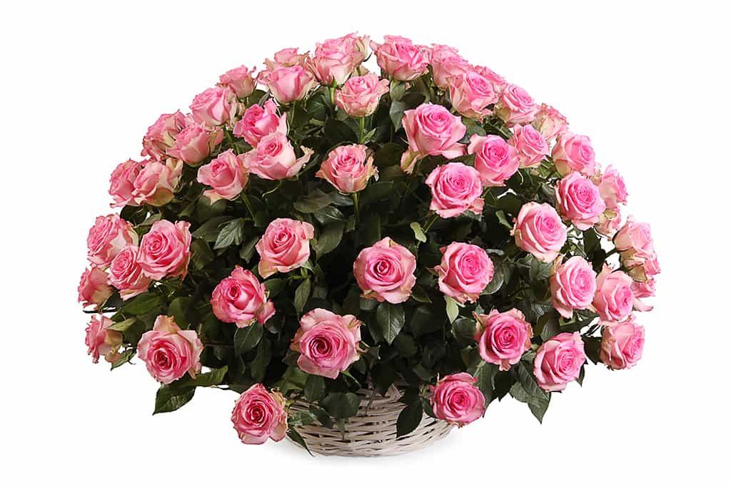 101-rozovaya-roza-Svit-Yunik