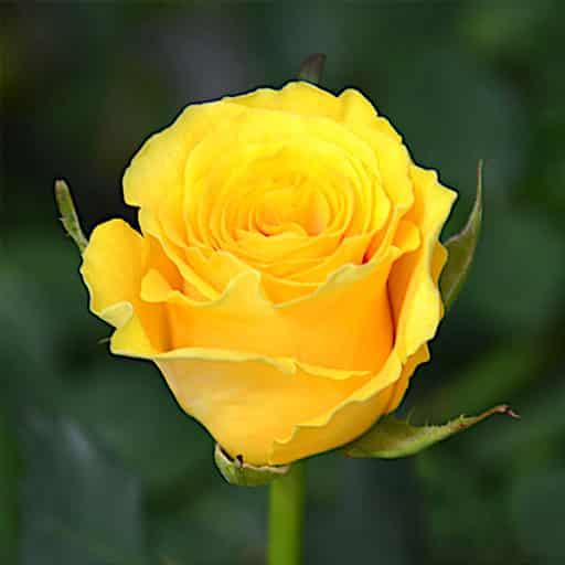 Roza-Sfinks