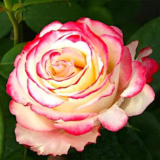 Roza-Svitnes