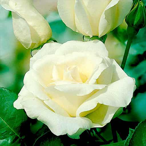 Roza-Tineke-kupit